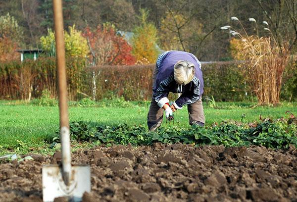 Обработка почвы после клубник