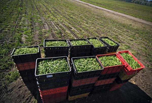 Сбор урожая спаржевой фасоли
