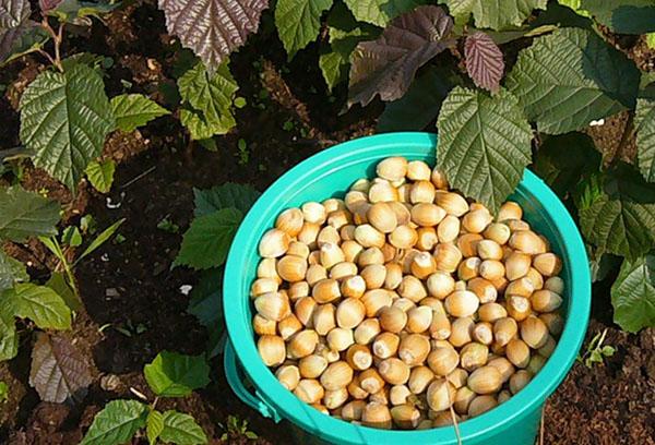 Как вырастить фундук из орехов - Деревья и кустарники