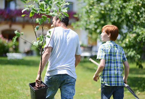 Подготовка к посадке плодового дерева