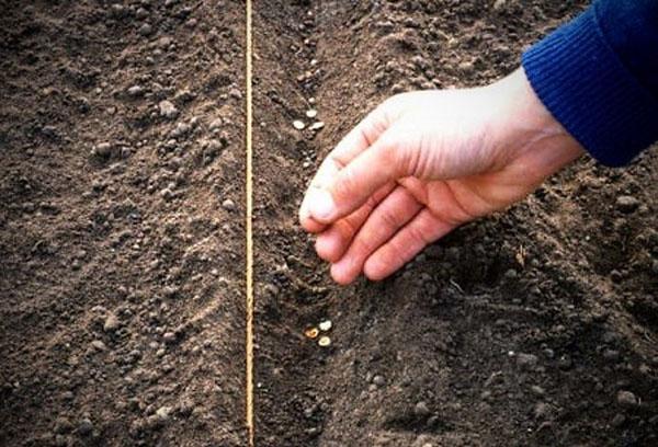 Посев семян репы