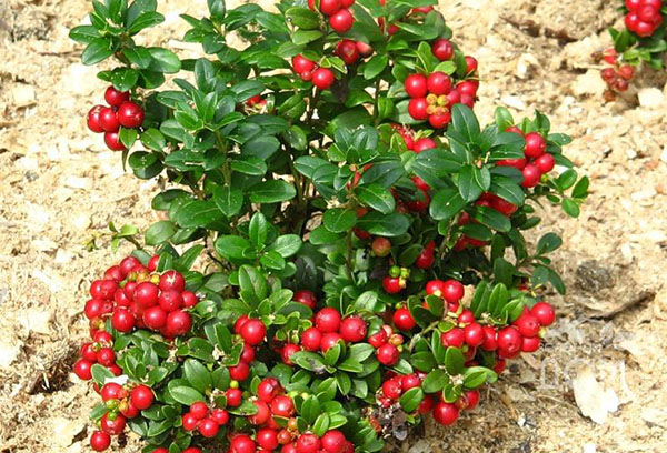 Куст садовой клюквы с ягодами
