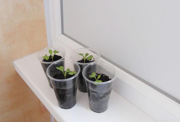 Выращивание рассады савойской капусты