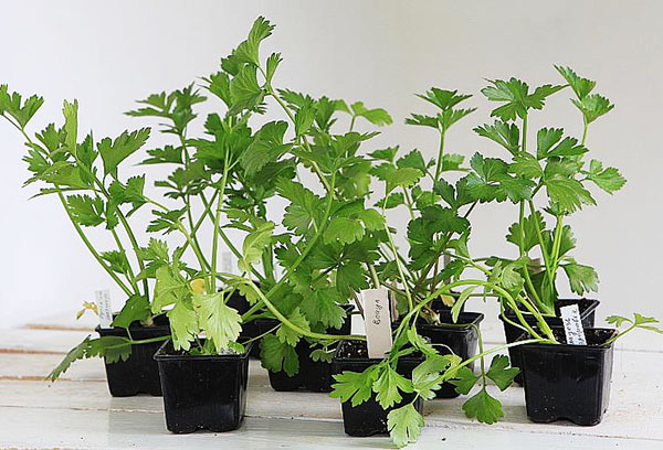 Как посеять и вырастить черешковый сельдерей