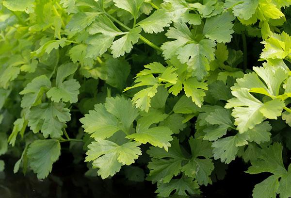Зелень сельдерея