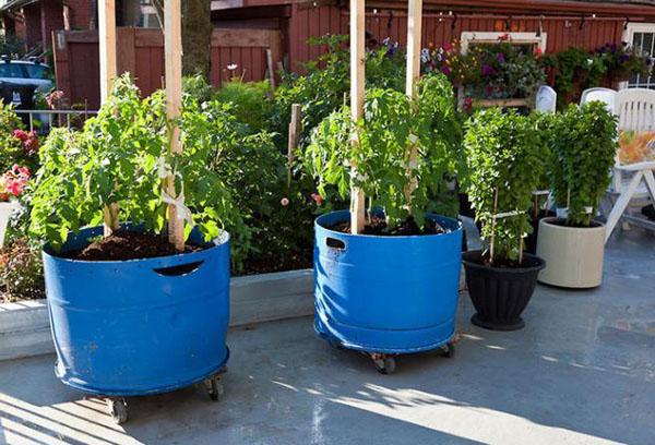 Выращивание томатных деревьев