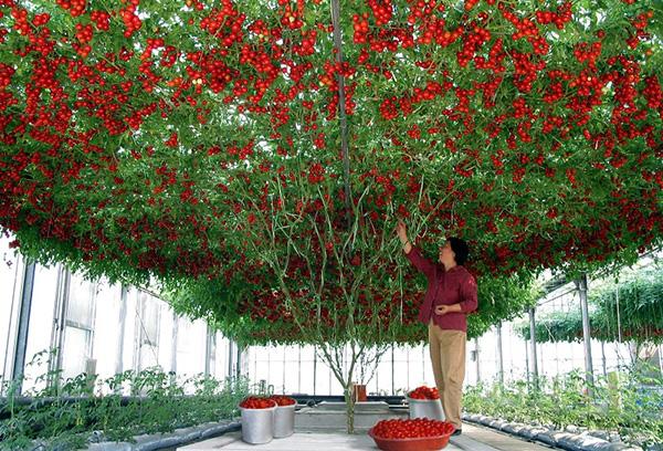 Томатное дерево в теплице