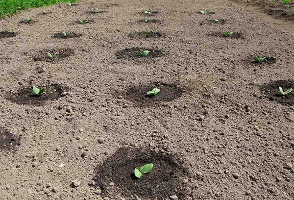 Всходы тыквы на огороде