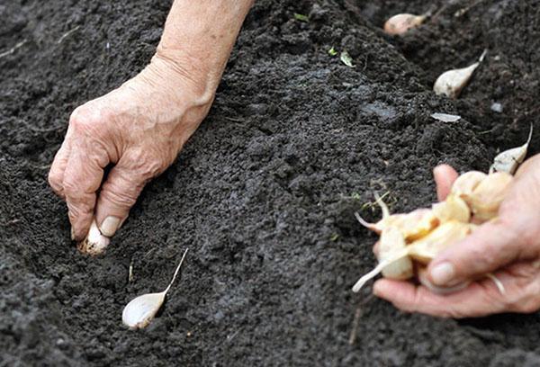 Как правильно выращивать яровой чеснок