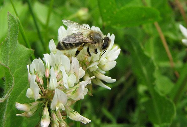 Пчела на белом клевере