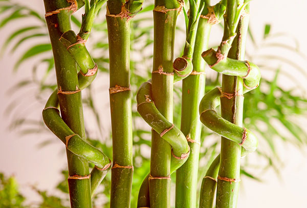"""Фигурные стебли """"бамбука счастья"""""""