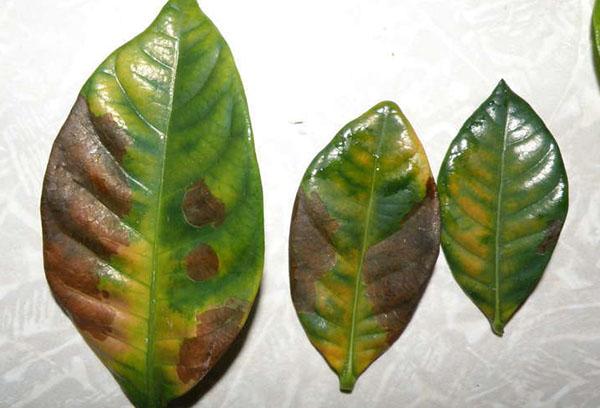 Поврежденные листья гардении