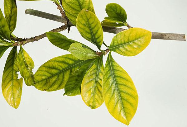 Пожелтение листьев гардении