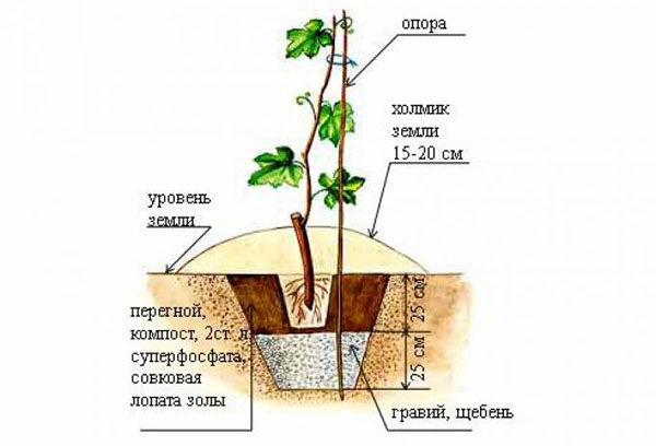 Схема высадки винограда осенью