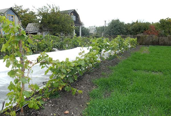 Виноград в первый год после посадки