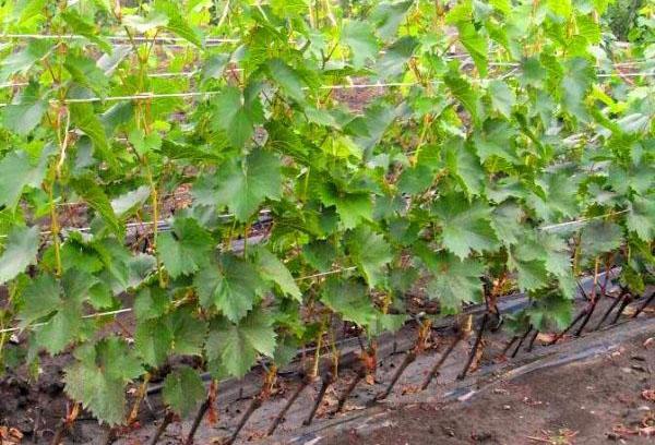 Доращивание винограда в школке