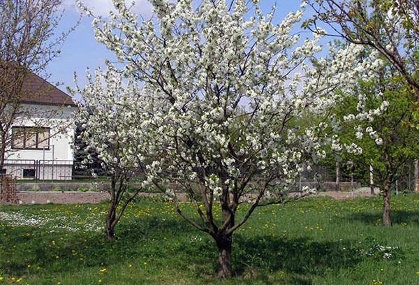 Цветущая вишня на участке