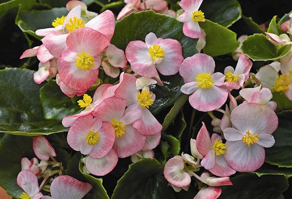 Розовые цветы бегонии
