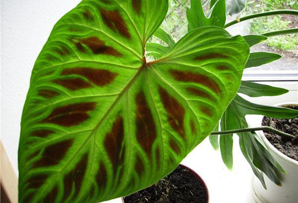 Молодой лист филодендрона
