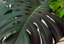 Лист филодендрона