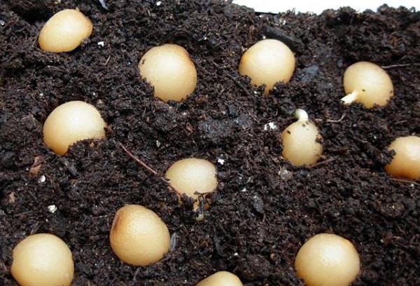 Семена кливии в грунте