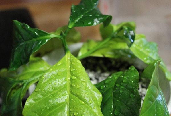 Листья кофе арабики