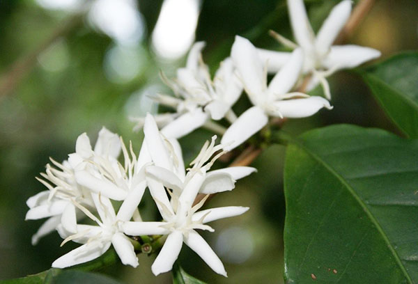 Цветение арабики в домашних условиях