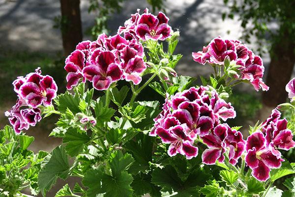 Пеларгония королевская — особенности выращивания