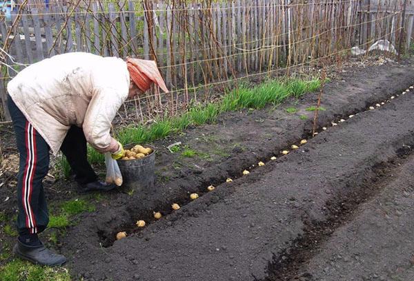 Посадка картошки в траншею