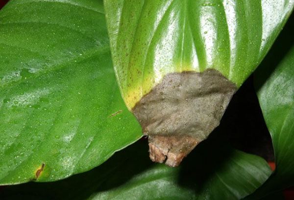 Поврежденный лист спатифиллума