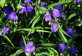 Цветение садовой традесканции