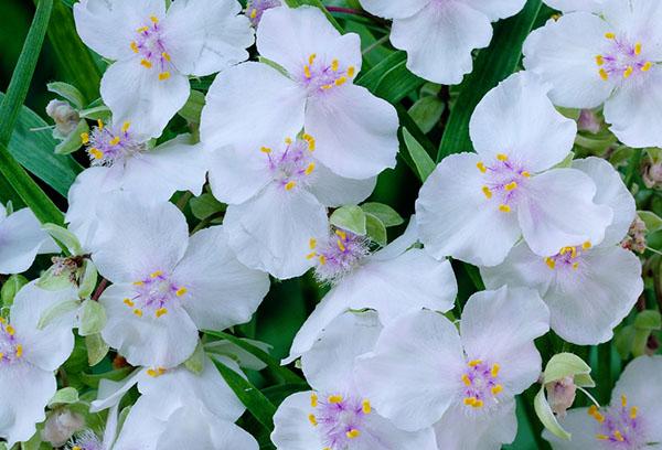 Белые цветы садовой традесканции