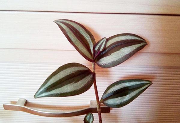 Листья зебрины