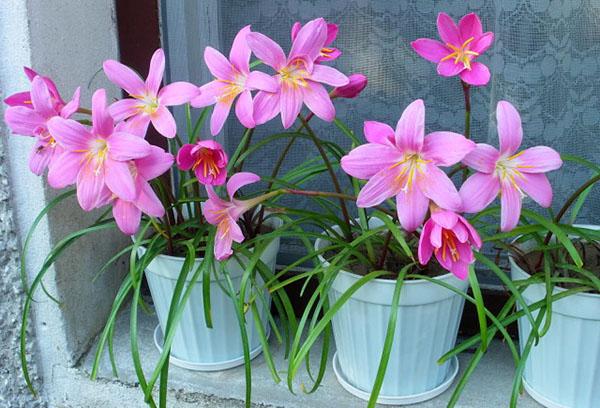 Розовые зефирантесы