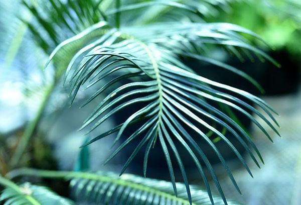 Лист цикаса