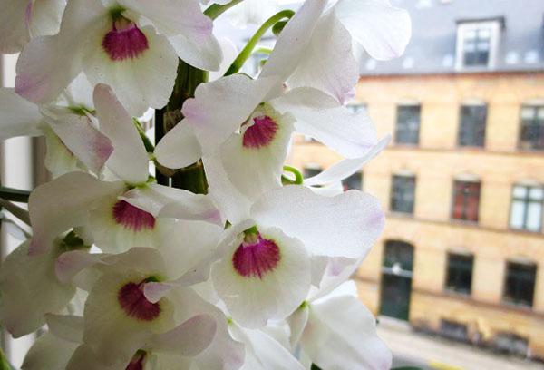 Цветение орхидеи на подоконнике