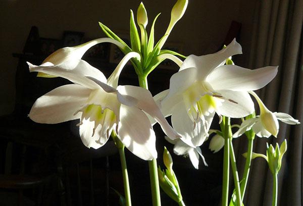 Цветки эухариса