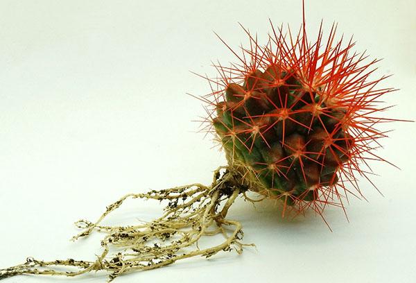 Эхинокактус с освобожденными от почвы корнями