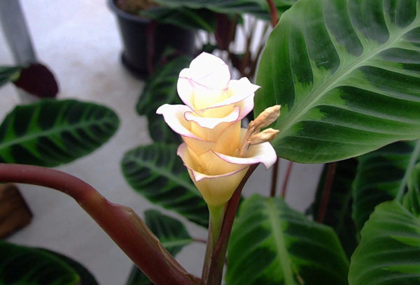 Цветение калатеи