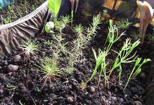 Всходы хвойных растений