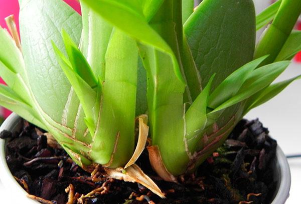 Молодые листья орхидеи камбрия
