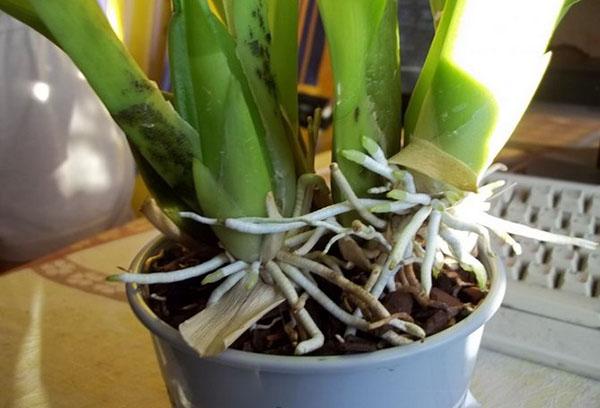 Молодые корни орхидеи камбрия