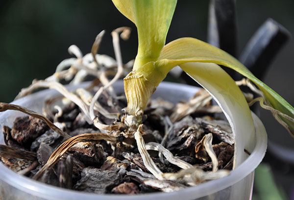 Засохшая орхидея камбрия