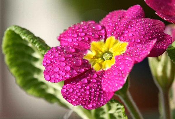Цветок примулы после полива