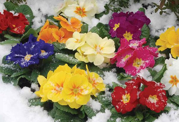 Цветущие примулы в снегу