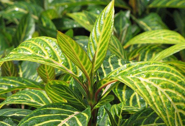Молодые листья санхеции