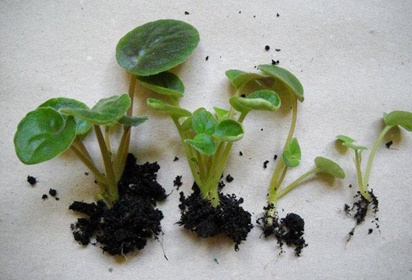 Размножение сенполии