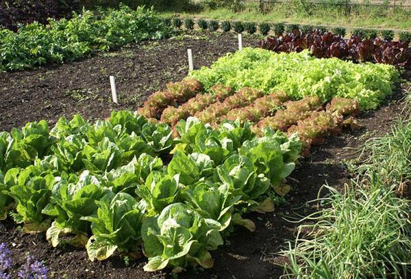 Грядки с капустой и салатом