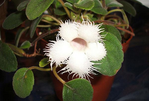 Белый цветок гибридной эписции
