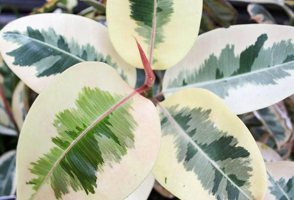Фикус со светлыми листьями